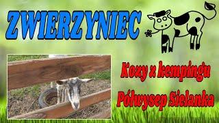 Bardzo przyjazne kozy - Kemping Półwysep Sielanka