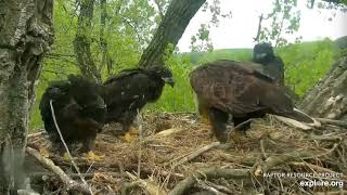 Decorah Eagles 5 19 20, 11:30 am Fish delivery, feeding