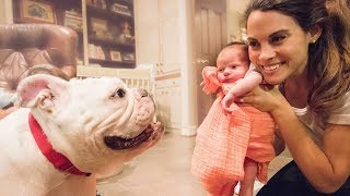 50 Pound Bulldog Meets Baby For The First Time