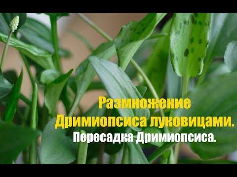 Размножение Дримиопсиса луковицами. Как правильно размножать Дримиопсис?