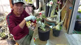 How to - Grafting Adenium Desert Rose Technique Part 1