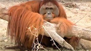 Incredible Orangutan Moments | Part 2 | BBC Earth