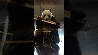 The quality of life of the panda is a little bad