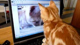 Confused Kitten watching a video of himself