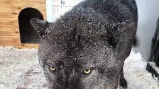 Рык Волка, Крупный Канадский волк Акела  показывает характер, Канадский волк, северный волк