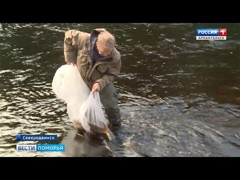 В реку Солзу под Северодвинском выпустили мальков сёмги