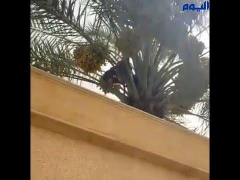 للمرة الثانية.. القرود تهاجم حي الشفاء جنوب الرياض