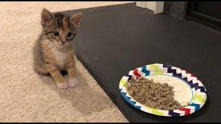 Kitten 5 weeks update - Trying Solid Food