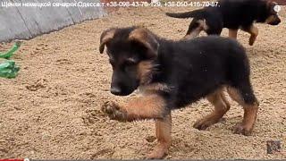 МОРЕ ПОЗИТИВА! Funny puppies.Щенки немецкой овчарки. Одесса.