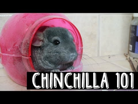 CHINCHILLA CARE GUIDE | Tamunicorn
