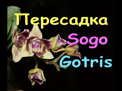 ОРХИДЕИ:прекрасные SOGO GOTRIS - пересадка из ТОРФ.стаканчиков