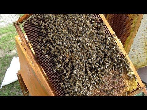Весеняя ревизия пчелосемьи на качество маток