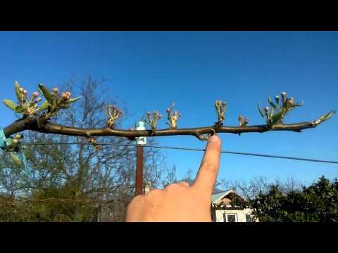 Pomi pe spalier-espalier fruit trees