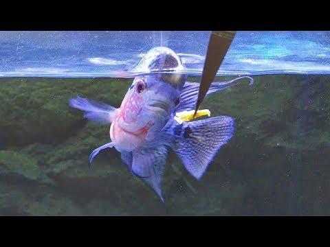 Download Flowerhorn Fish Feeding Guide Video 3GP Mp4 FLV HD Mp3