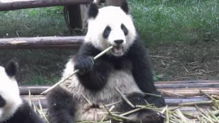 preview picture of video 'Encontro com Pandas Gigantes na China'