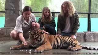 Australia Zoo Tiger Cubs Celebrate First Birthday