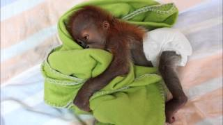オランウータンの赤ちゃん動物の赤ちゃん
