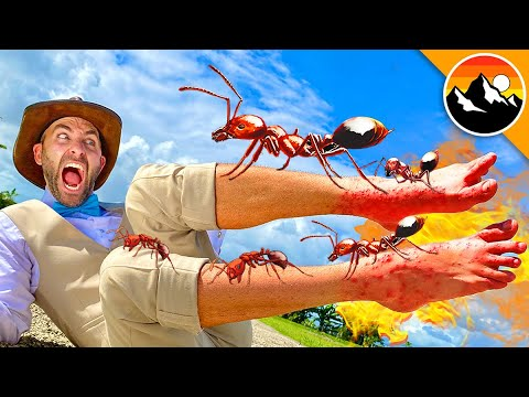 Stung by 500 Fire Ants!
