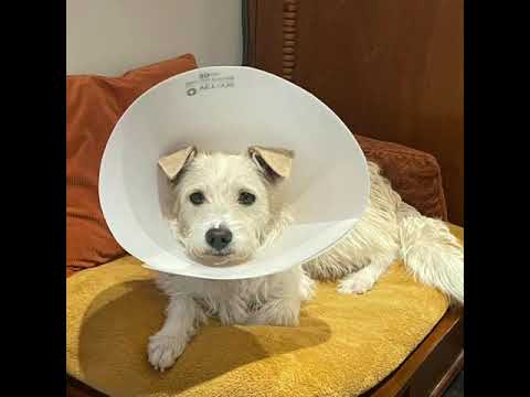 Snowie Khloe, an adoptable Terrier Mix in Glendora, CA_image-1