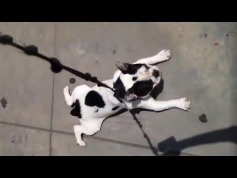 Stubborn puppy refuses to walk home