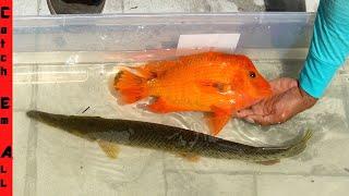 MIXING FISH GENETICS! #Shorts