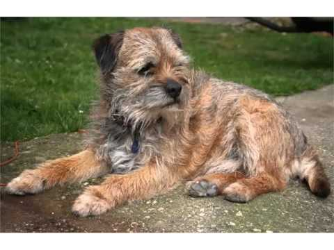 Terrier Dog Breed Types Picture Ideas | Border Terrier Mp3