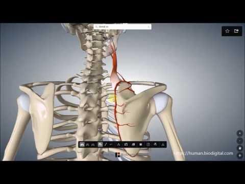 Die Dyskinesie scheltschewywodjaschtschich der Wege tut der Rücken weh