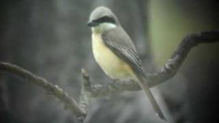 preview picture of video 'Brown Shrikes'