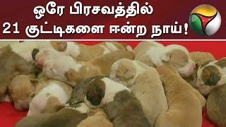பெங்களூருவில் ஒரே பிரசவத்தில் 21 குட்டிகளை ஈன்ற நாய்! | An American pitbull delivers 21 puppies #DOG