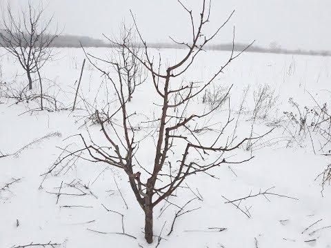 Ludwigia helminthorrhiza