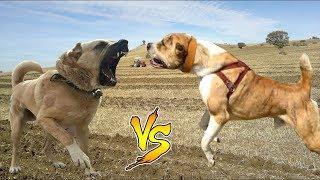 kangal mı ? alabay mı ? ( sizce hangisi ? ) En büyük köpek ırkları