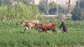 Egyptian Rural life