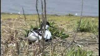 preview picture of video 'Avocets at Wat Tyler Country Park'