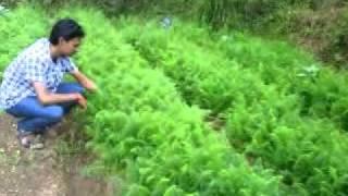 Carrot Harvesting