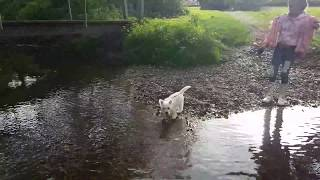 Westie puppy first walk outside