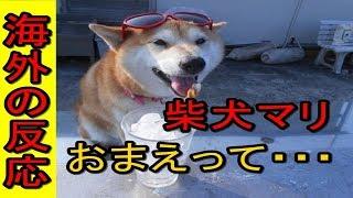 海外の反応柴犬マリは天才柴犬!日本犬は凄い、海外でも驚きのキュートな演技力にメロメロまるっと日本の話題!
