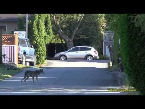 Coyote Goes After Small Dog In Backyard