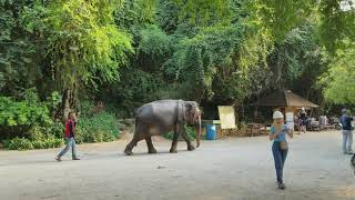 preview picture of video 'Feb 2018 Thailands Asian  elephant at the Sanctuary of truth'