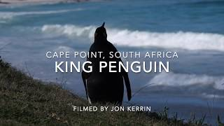 Rare King Penguin Visits Cape Point Nature Reserve, South Africa