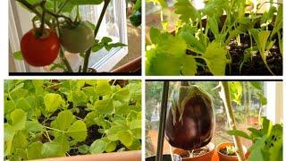 Indoor Window Vegetables Garden खिड़की पर लगा सकते है ये सब्जियां