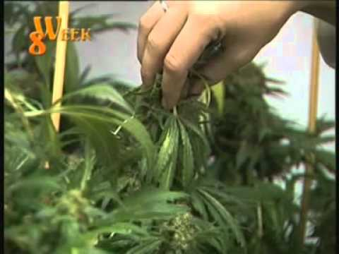 Marijuana - Top quality home growing pt.3.mpg