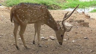 Spotted Deer ! Chital