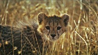 Cheetah Vs. Hyena: Fight for the Kill