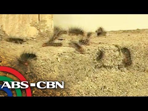 Ikaw ay may degus worm Gawin