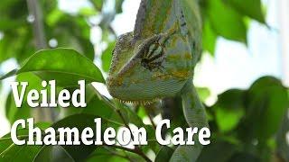 Veiled Chameleon Care | Yemen Chameleon