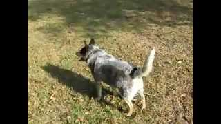 Crazy Dog chasing her tail