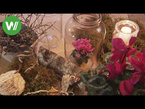 Alpenveilchen im Glas - Blumendeko im Winter