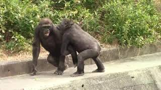 アニー&キヨマサ54 Annie&Kiyomasa child gorilla play