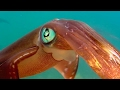 Download Youtube: Colour Changing Squid Mating Ritual - Blue Planet - BBC Earth