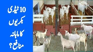 goat farming in pakistan sindh - TH-Clip
